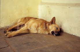 Sleeping Drug-Sniffing Dog